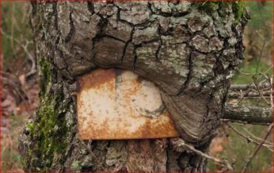 4-Tronc arbre blessé.JPG