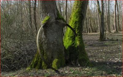 1-Tronc arbre blessé.JPG